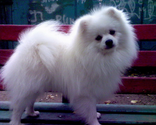 Собака породы померанский шпиц