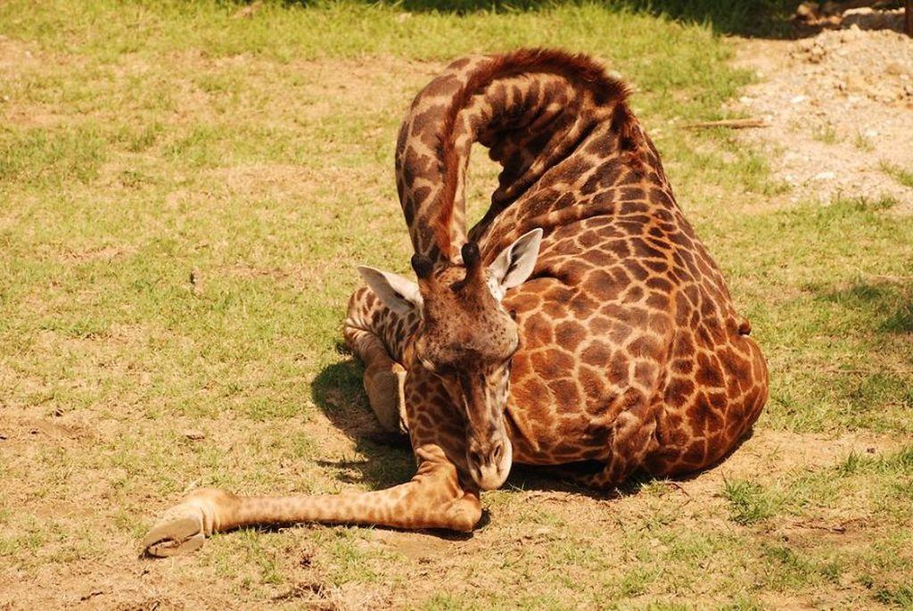 спящий жираф