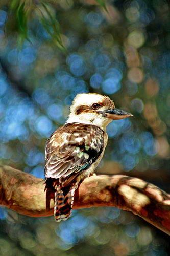 Аборигены Австралии, считали кукабару священной птицей