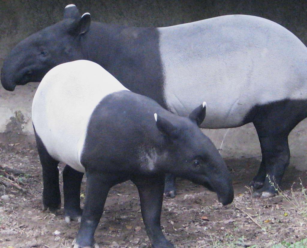 Чепрачный тапир, которого ещё называют малайским - самый