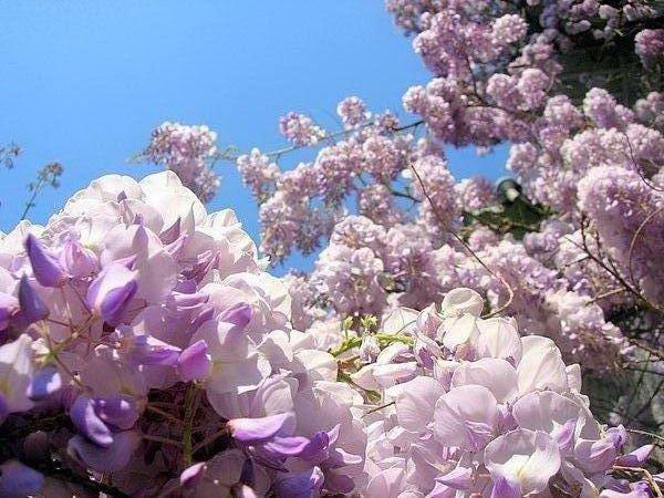 Существует глициния красивая (Wisteria formoia) - это гибрид между.