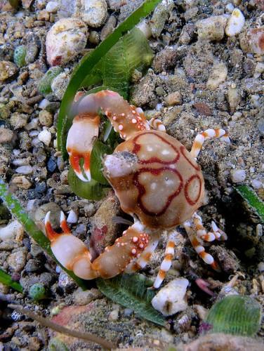 Leucosia_anatum_(Pebble_crab)