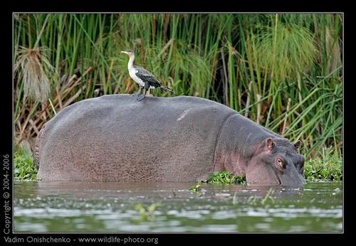 веслую историю знакомого животного