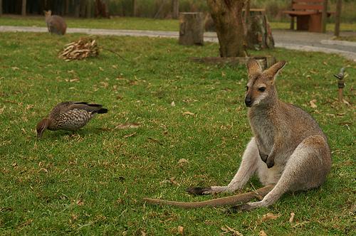 зачем самцу кенгуру сумка. зачем самцу кенгуру сумка + фото.