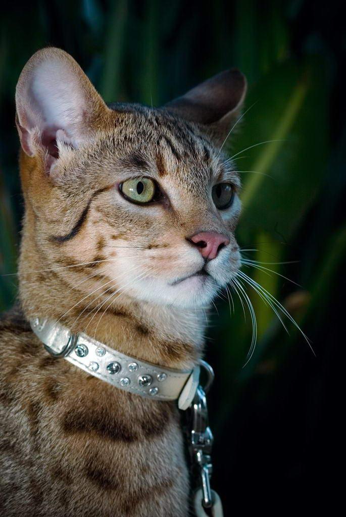 Кошка-леопард получила имя своей породы в честь древнееврейской языческой богини Ашеры.