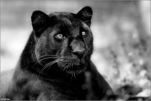 Черная пантера Black Panther