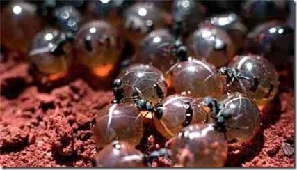 Основной рацион питания этого отряда муравьев составляет так называемая...