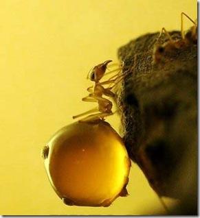 Однако, иногда (особенно в пустыне) муравьям очень трудно обнаружить...