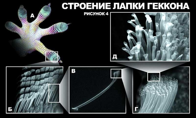Фотография лапки геккона.