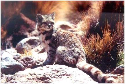 Андская горная кошка (Oreailurus jacobita)