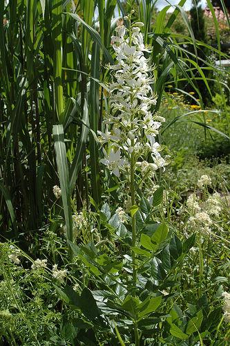 Dictamnus albus, ясенец белый