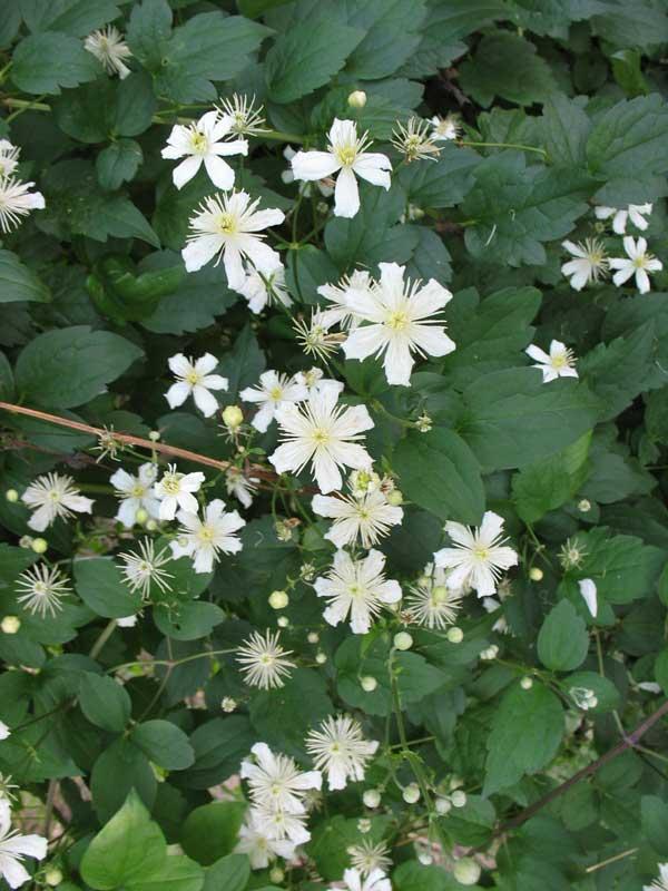 Клематисы с белыми мелкими цветами