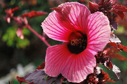 Hibiscus sabdariffa, каркаде