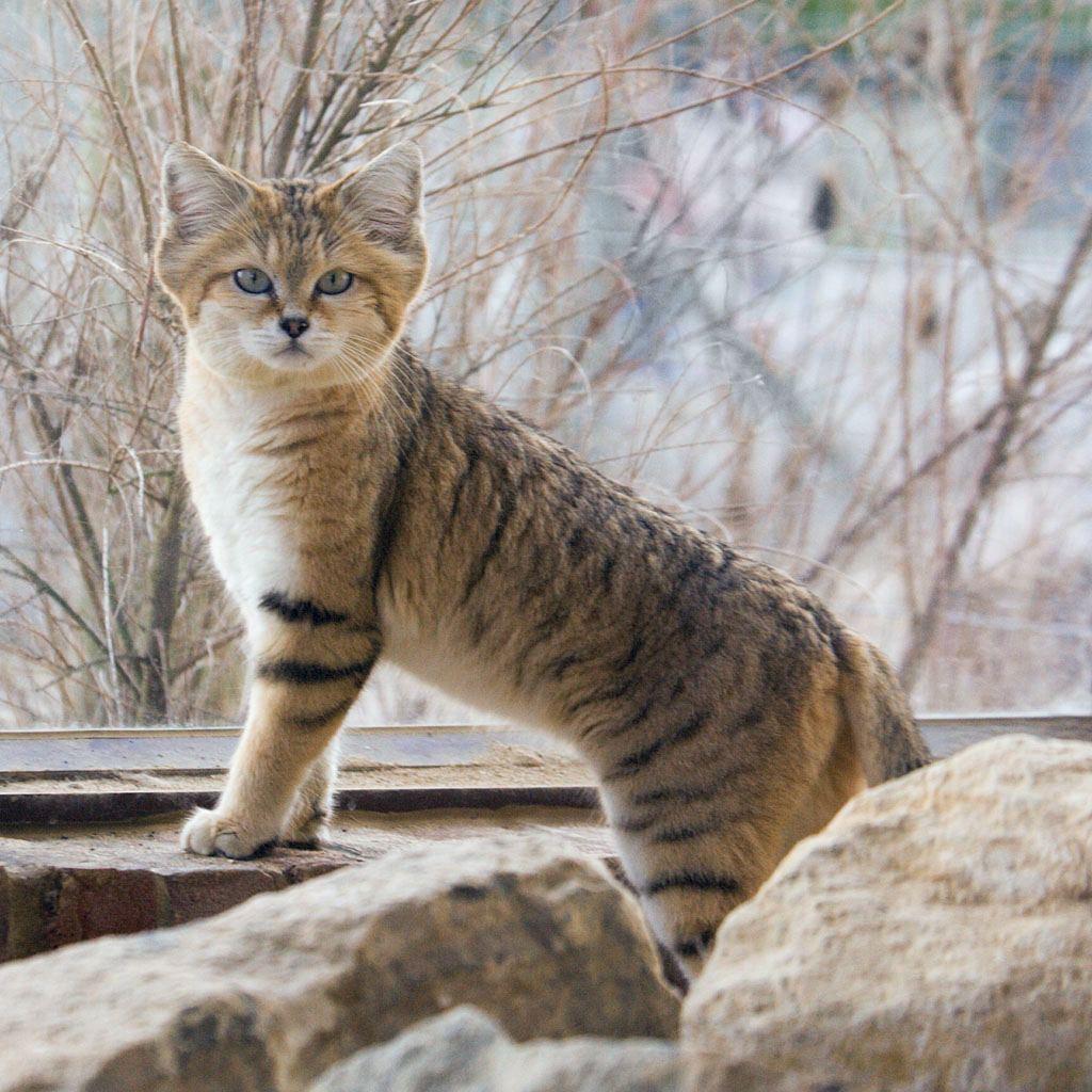 Песчаная, барханная, или пустынная кошка (Felis margarita).