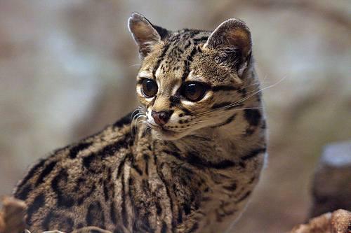 Кот породы оцелот
