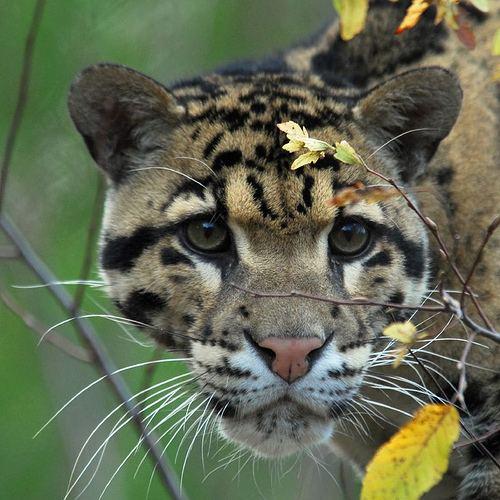 Дымчатый леопард (Neofelis nebulosa).