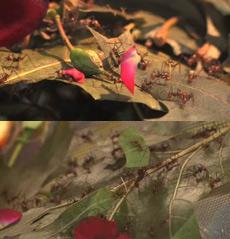 Муравьи-листорезы насчитывают 41 вид (кадры UW-Madison).