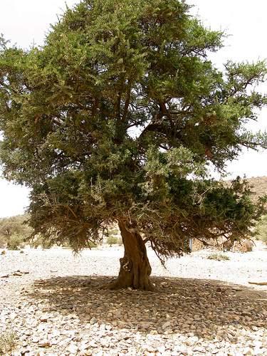 дерево аргания колючая Argania spinosa