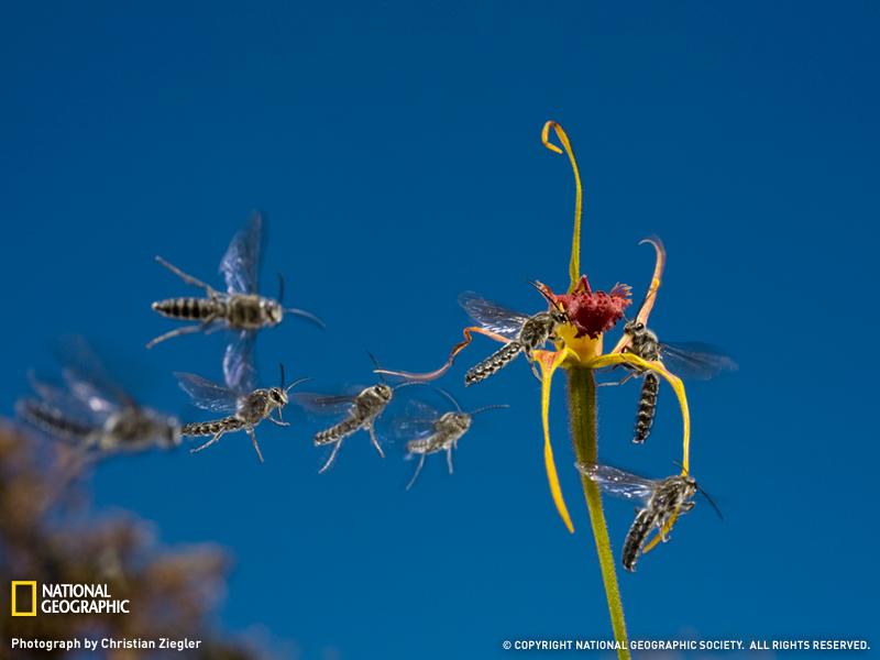 Королевская орхидея паук