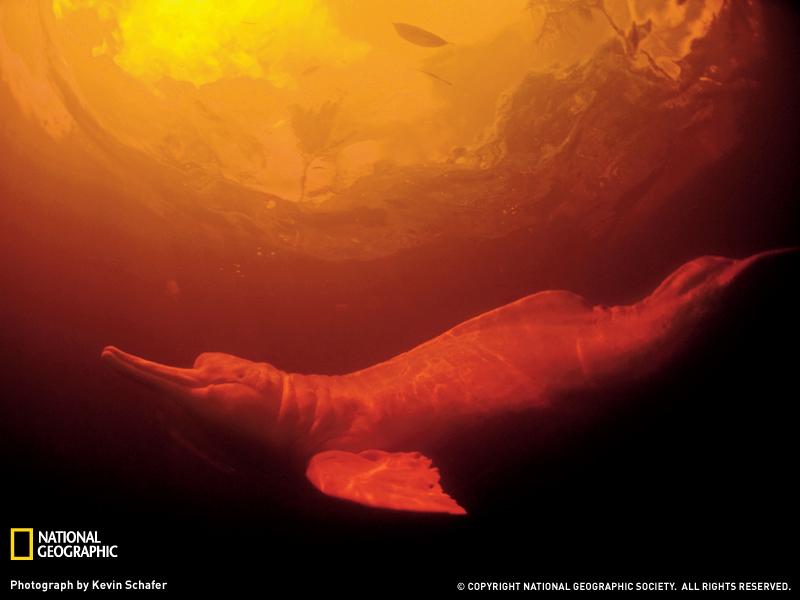 Пресноводный дельфин Амазонки
