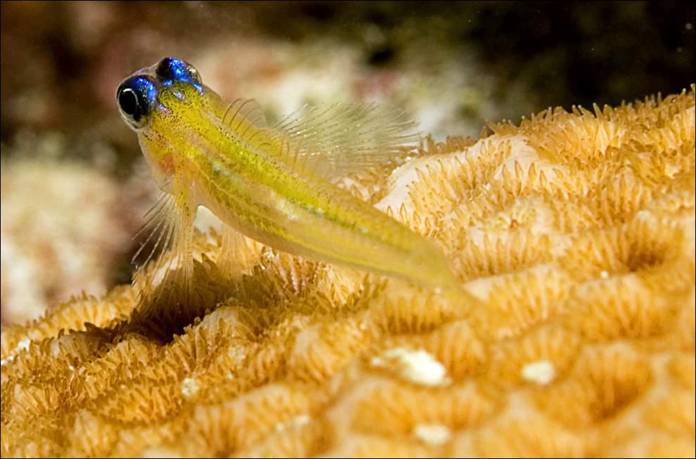 Разновидность Гоби на коралле на острове Бонайре.