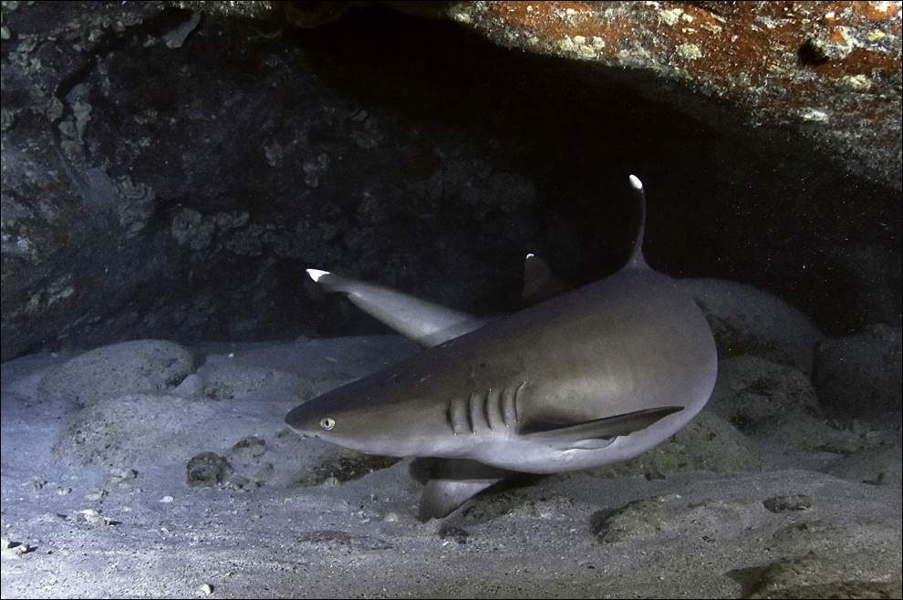 Белоперая рифовая акула