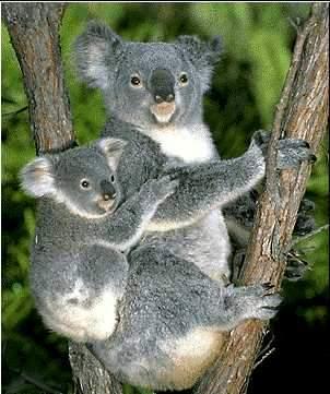 Кто такие Сумчатые (Marsupiala)?