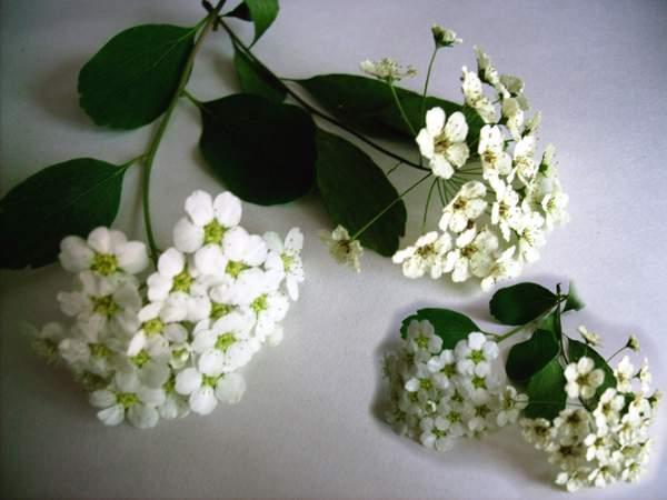 Как правильно сохранить растение для гербария