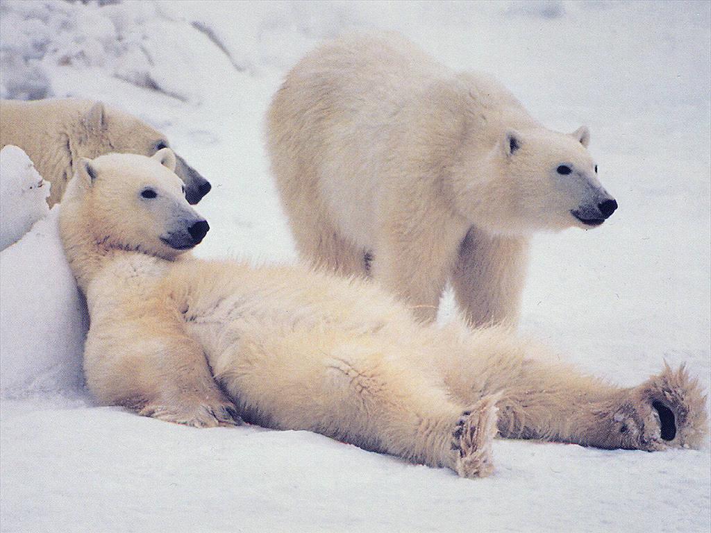 Белый медведь полярный медведь polar bear