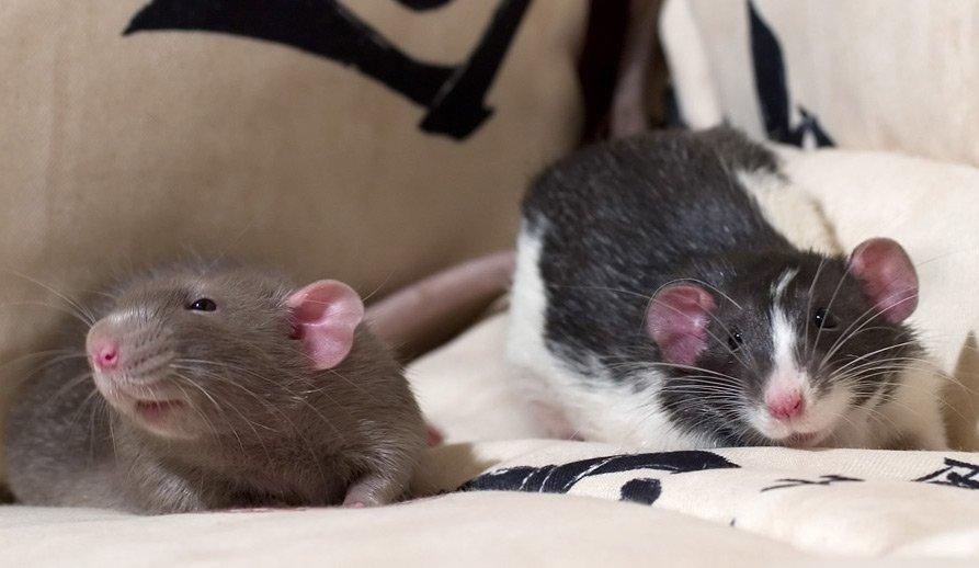 Почему крыса лижет мне пальцы