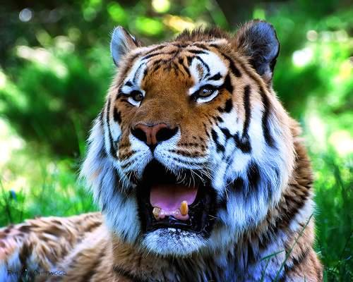 Panthera tigris (тигры)