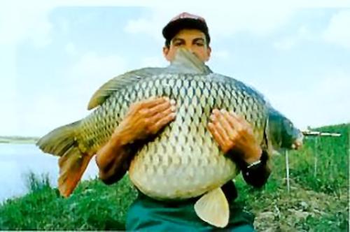 b Рекордные Рыбы/b.  Карп.  Common Carp Cyprinus carpio.