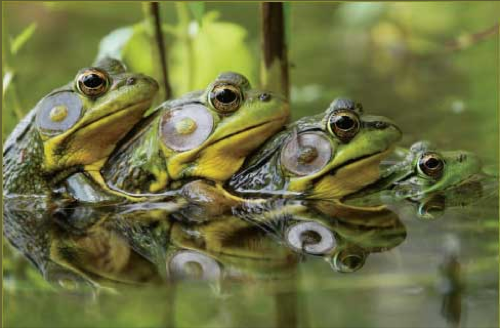 Лягушки зеленое чудо природы