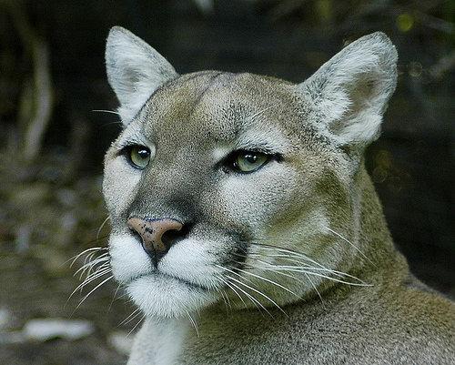 Пума, или кугуар (Puma concolor).