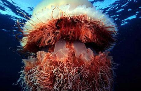 Гигантская медуза (Nomura's jellyfish, Nemopilema nomurai)