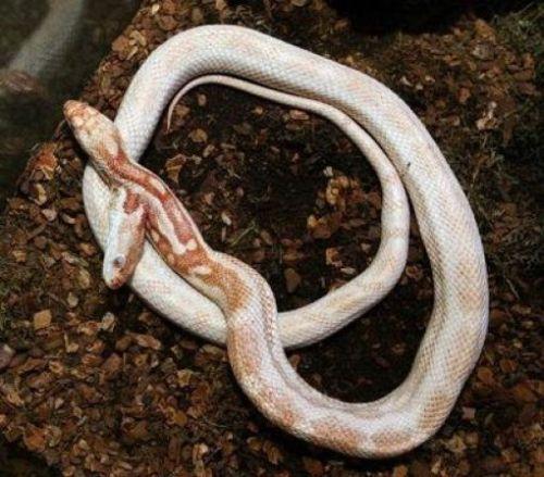 половые органы змеи фото