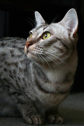 Ocicat порода короткошерстных кошек