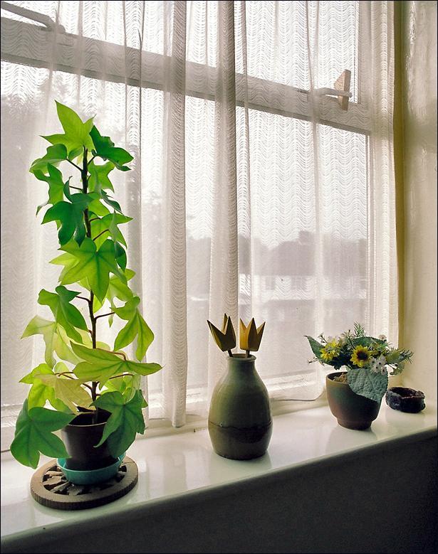 Растение Фатсхедера