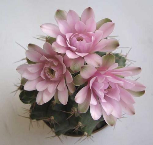 Удивительно нежный цветущий кактус.
