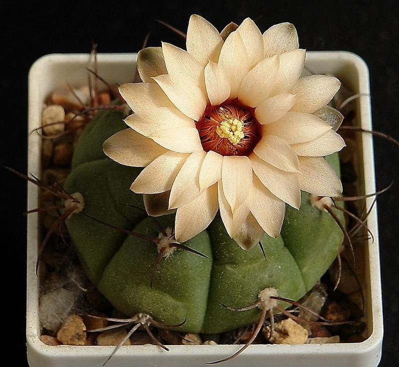 Цветущие кактусы комнатные фото