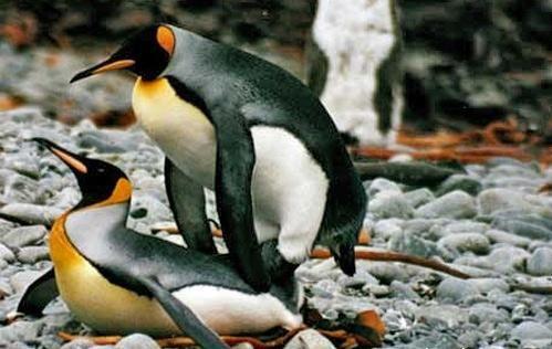 Птицы вступают в гомосексуальные связи