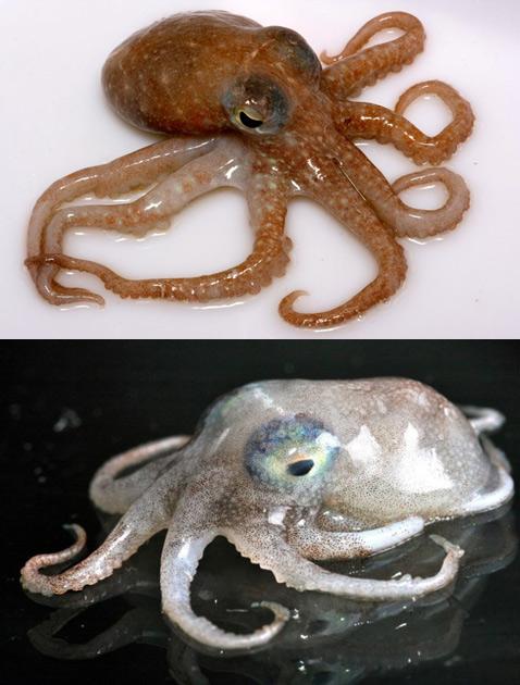 Брайан полагает, что все осьминоги в той или иной степени ядовиты. Чтобы ещё раз доказать это, он и отправился в нынешнюю экспедицию. На фото два вида ядовитых осьминогов: <i>Pareledone turqueti</i> (вверху) и <i>Pareledone aequipapillae</i> (фото Samuel Inglesias).