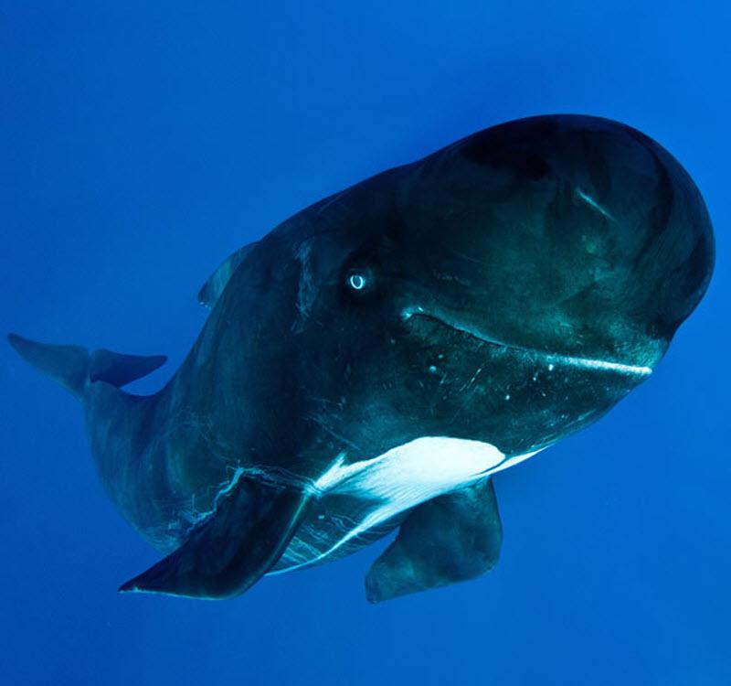 Дельфін гринда