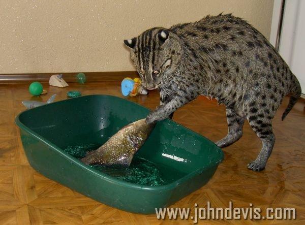 виверровый кот рыболов дома