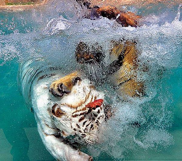 уроки сон мутная вода в бассейне и тигренок стихотворении Цветаевой противопоставляются