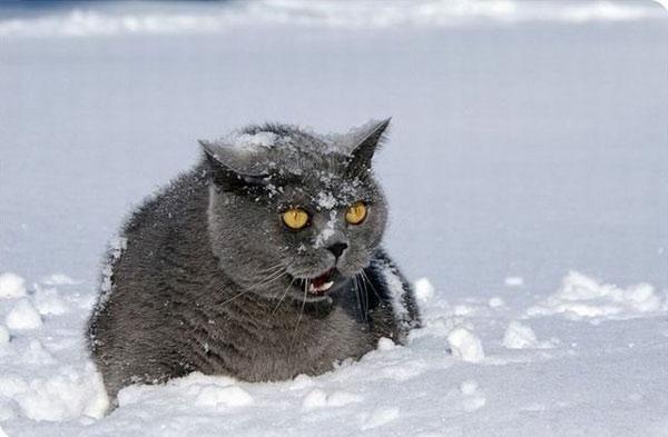 http://animalworld.com.ua/images/2010/December/Raznoe/Snow/Cats_and_snow_%2013.jpg