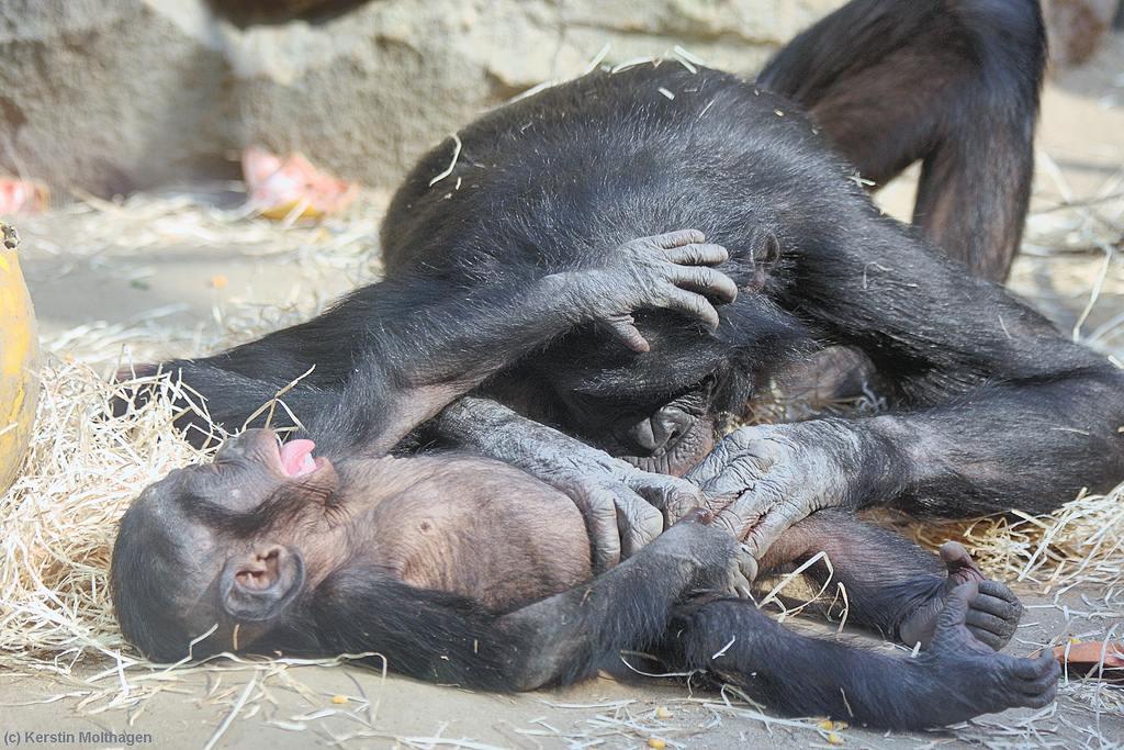 Шимпанзе оральный секс