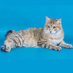 Курильский бобтейл кошка с заячьим