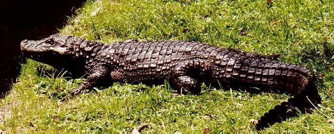Крокодил Caiman_latirostris