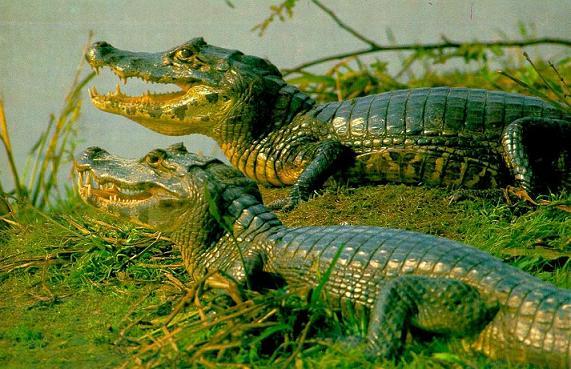 Крокодил Caiman_yacare